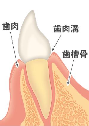 通常の前歯